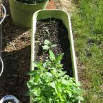 Early June Veggie Update