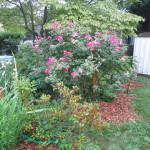 Garden Update: Flowers